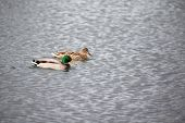 pic of male mallard  - mallard couple swimming on a lake - JPG