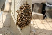 image of swarm  - Swarm of bees from a group of queen bee - JPG