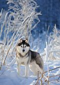 foto of siberian husky  - Siberian husky on the background of trees with snow - JPG