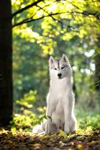 pic of husky  - majestic portrait of grey black purebread husky dog lying on green grass - JPG