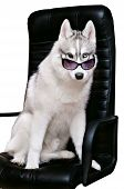 image of siberian husky  - Siberian Husky dog in bow tie and sunglasses on a white background - JPG