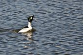 pic of mating animal  - Male Common Goldeneye Performing His Mating Dance - JPG