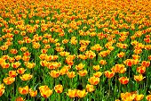 stock photo of orange blossom  - it is yellow orange flowers of tulips blossomed in the spring - JPG