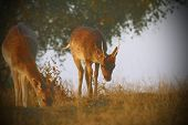foto of deer family  - fallow deers with instagram effect  - JPG