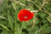 picture of himachal pradesh  - A poppy growing in a field in Bir - JPG