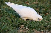 picture of eat grass  - A little corella eating off grass in Victoria - JPG