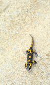 stock photo of amphibious  - Salamander lizard on the forest road background - JPG