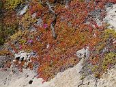 picture of chase  - Succulent plants on the rocks of Flinders Chase on Kangaroo island in Australia - JPG
