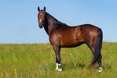 image of stallion  - Beautiful bay stallion  stand on the meadow - JPG