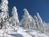 picture of blue spruce  - spruces in the mountains covered with snow in contrast with blue sky - JPG