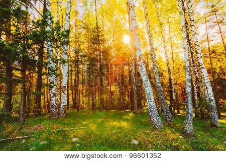 Sunset Sunrise In Summer Birch Forest.