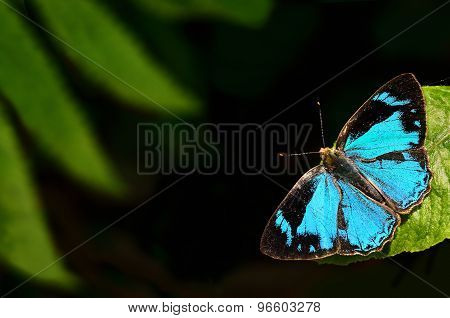 Butterfly (common Gem) Perching On Flower