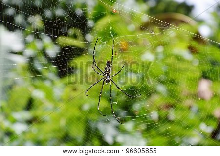 spider and her babies  on the web