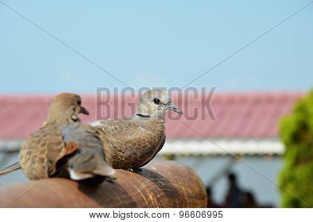 doves on iron log