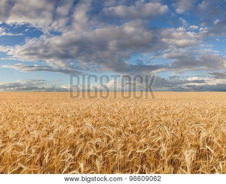 Ripe Wheat Field Under Cloudy Sky