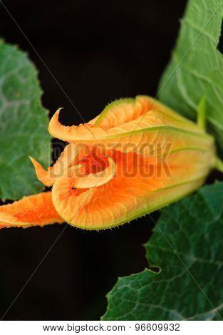 Squash blossom in a garden