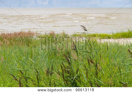 Sedge Grass On The Seacoast