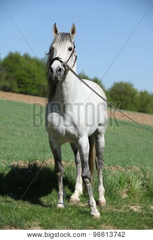 Beautiful Andalusian Stallion In Spring