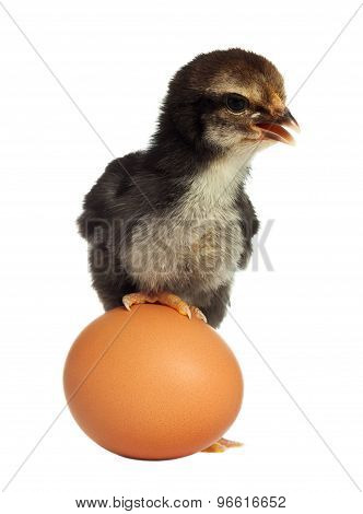 Cute Black Little Chick With Egg