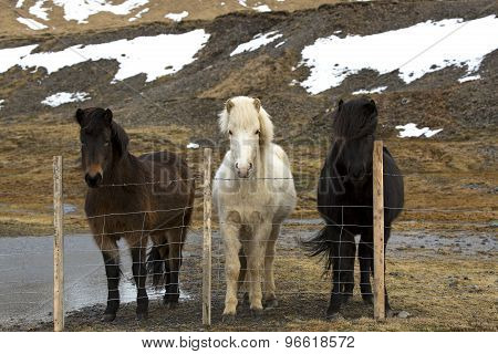 Three Colours Of Icelandic Horses