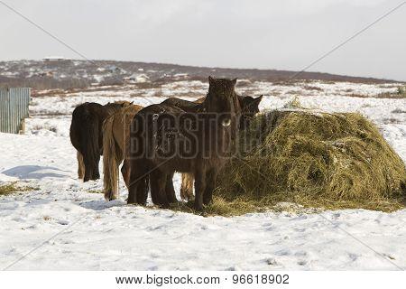 Hay Feeding For Icelandic Horses In Winter