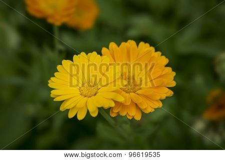 Pair Of Orange Calendula Flowers
