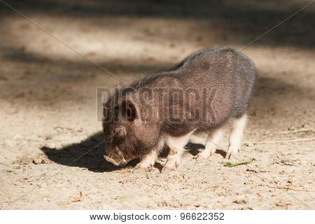 Young black piggy