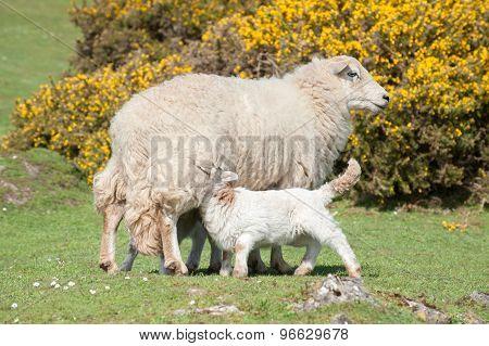 Lambs Suckling