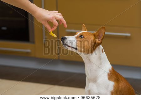 Cute basenji dog thinks about eat or not to eat lemon
