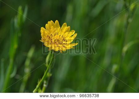 Rough hawksbeard flower in a wild field covered by dew