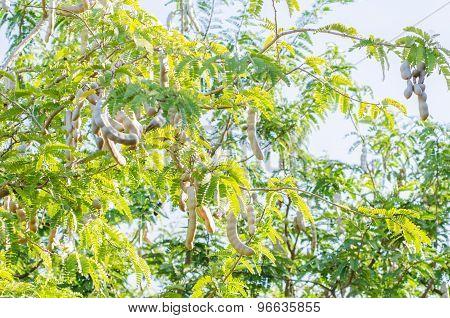 Tamarind On Tree