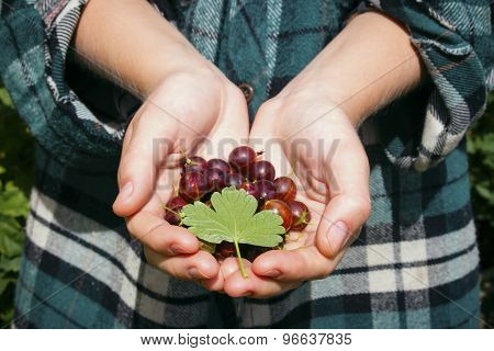 Gooseberries With Leaf In The Hands Of A Farmer Selective Focus