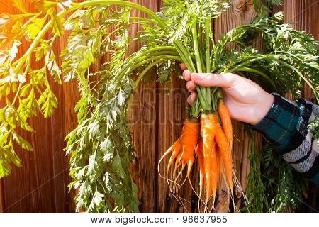 A New Crop Of Carrots In The Hands Of A Farmer On A Wooden Background Selective Focus