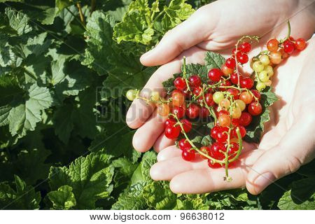 Cottager Holds In His Hands A Handful Of Red Currants Against The Background Of Shrubs Selective Foc