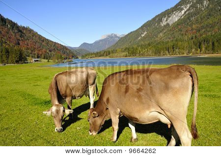 Cows In Tirol
