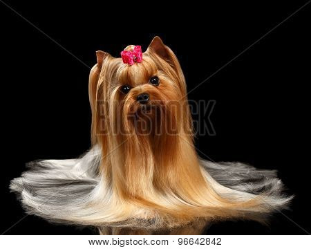 Yorkshire Terrier Dog With Long Groomed Hair Lying On Black