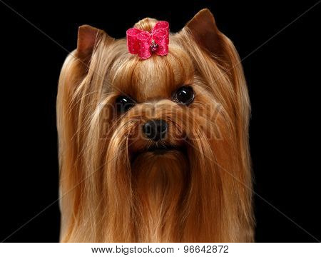 Closeup Portrait Yorkshire Terrier Dog On Black