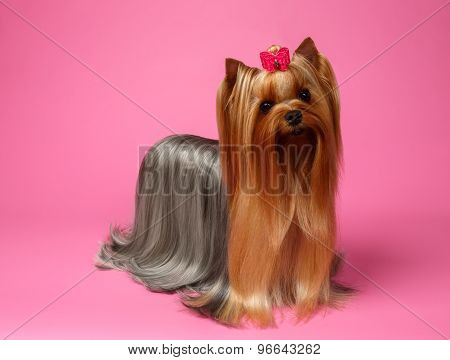 Yorkshire Terrier Dog With Long Groomed Hair Stands On Pink