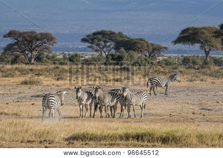 Harem Of Zebras