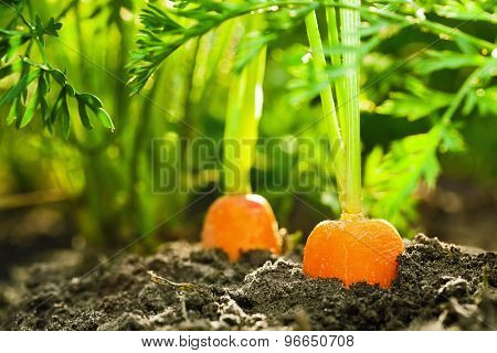 Ripe carrots in the land closeup
