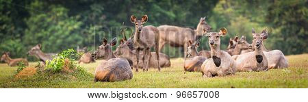 Herd of the Sambar deers. Panorama