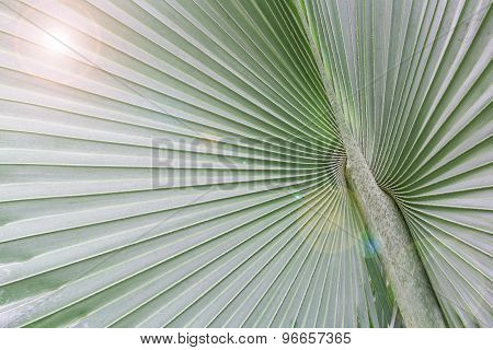 Big Palm Leaf With Light