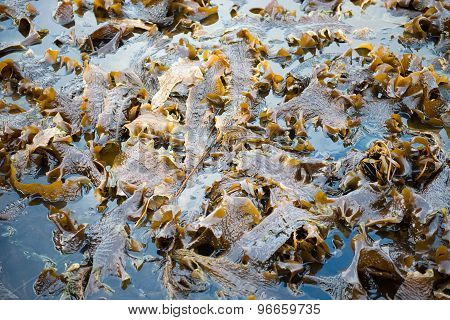 Laminaria Algae At Low Tide