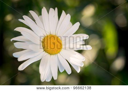 White Chamomile Flower Macro / Isolated On Natural Background