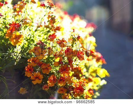 Blooming Zinnia.