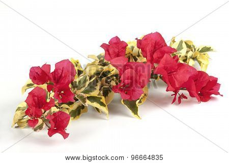 Variegated Green And White Bougainvillea Flowers With Red Flowers