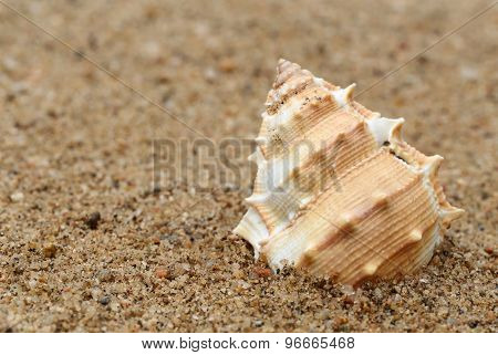 Snail Shell In A Sea Beach