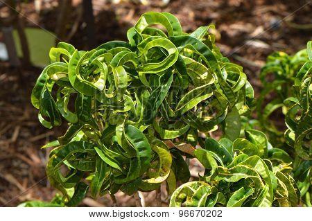 Croton Ram's horn codiaeum variegattum