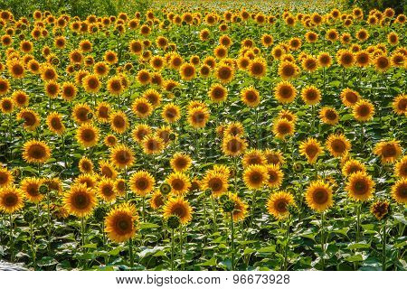 background lot of sunflowers summer landscape screen saver