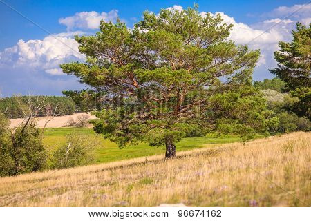 lone pine tree stands in a field on a background of blue sky